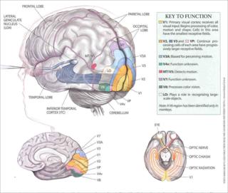 Visual brain.jpg